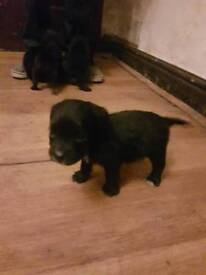 Patterdale x lakeland pups for sale