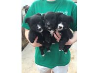 3 beautiful pups for sale