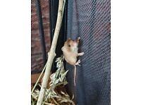 Harvest Mice Pups for sale - Alfreton