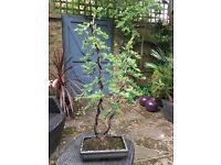 Bonsai Juniper twin trunk shakkan style tree