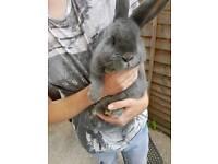 2 male mini lop/giant continental rabbits