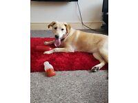 10 month old labrador retriever