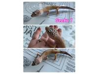 Ball pythons snakes for sale and leopard geckos