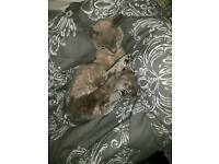 Lost cat grey female Devon Rex