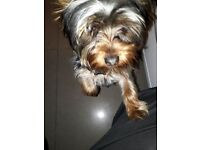 Yorkshire Terrier Small Breed