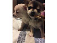 Teacup Chihuahua Girls