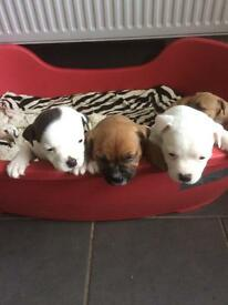 Staffy pups