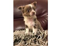 KC REG BLUE AND WHITE CHIHUAHUA