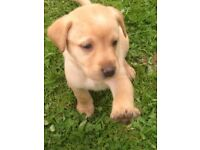 Exceptional litter of Labrador puppies - fox red /golden