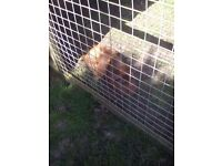2 Fluffy female guinea pigs