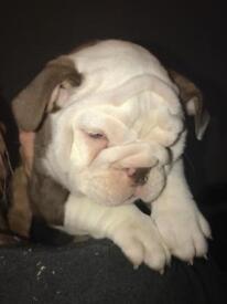 English Bulldog ,lilac and chocolate tri pups