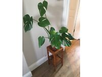 Monstera indoor plant with stand