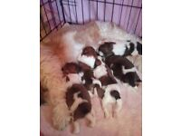 Darling wee shitzus 2 boys and 3 girls absolutely perfect companions mum and dad can be seen