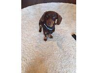 Miniature dachshund for sale £500