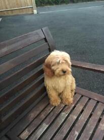 Adorable cockerpoo puppy