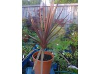 DARK CORDYLINE GARDEN PLANT