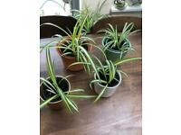 Plants: spider plants in ceramic pots. Prices from £5. Collect from Clayden