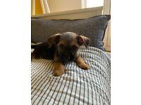 1 boy border terrier puppy for sale