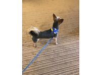 Yorkshire terrier chihuahua cross 19 month old male dog for sale. Due to now working full time
