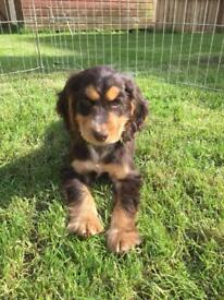 Cocker spaniel boy pup