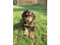 Cocker spaniel boy pup