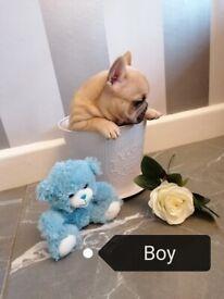 Kc French bulldog puppies ready soon