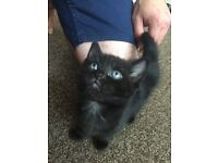 2 black kitten for sale