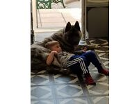 7 month old big American akita for sale.