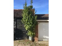 Large Potted Bay Tree