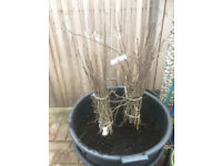 Bare root Hawthorn plantings, 50 of