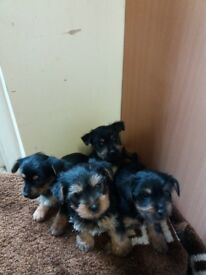 Miniature full breed miniature yorkshire terrier puppies