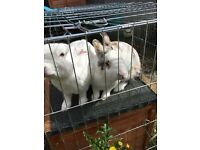 Free - 2 beautiful male, adult rabbits everything included.