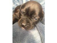 Female staffy puppy