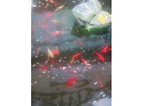 Beautiful pond Goldfish
