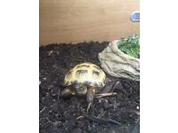 Horsefield tortoise with setup