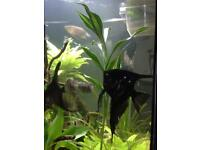 x 2 black lace tail Mature angelfish boy&girl