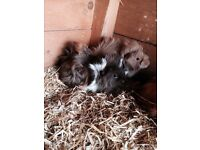 Young Male Guinea Pigs