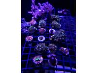 Zoa and soft coral pack