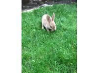 Stunning baby Rex rabbits for sale