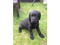 Labradoddle puppies for sale