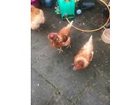 3 chickens and coop for sale