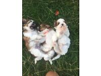 Shihtzu x Maltese puppies