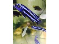 I have some amazing F1 Malawis juveniles for sale
