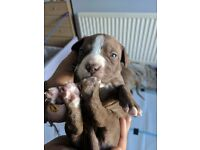French Mastiff X Staffordshire Bull Terrier