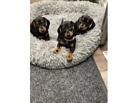 1 BOY LEFT! READY TO LEAVE ! Quality KC registered standard dachshund puppies for sale