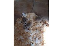 Roborovski hamster babies