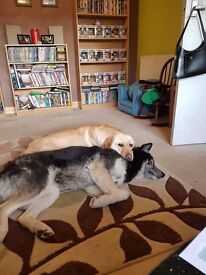 2 dogs. Lab and huskey cross