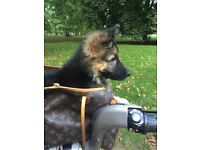 Beautiful 4 month German shepherd puppy called bear. Female, house trained, vaccinated and dewormed