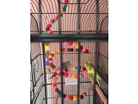 Two male baby budgies need a new home ASAP