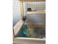 Two 20 week old tame baby male degu's £35 for pair